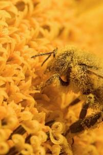 O que está a acontecer com as abelhas?