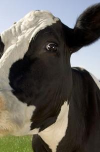 O que foi da doença das vacas loucas?
